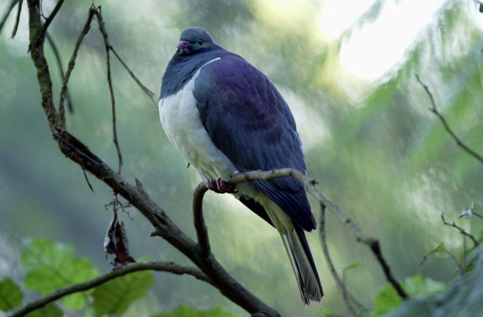 The kereru, or New Zealand native wood pigeon, gets smashed on summer fruit.