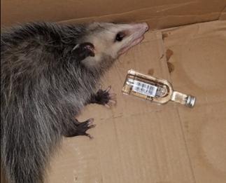 Possum breaks into liquor store and gets drunk
