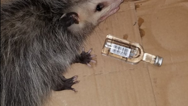 Possum breaks into liquor store and gets drunk