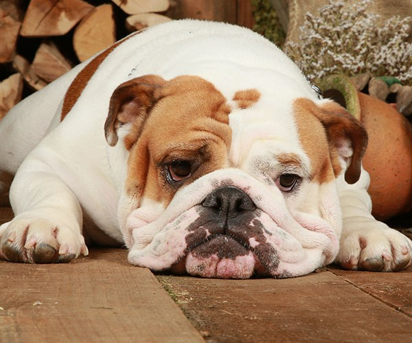 English bulldog.