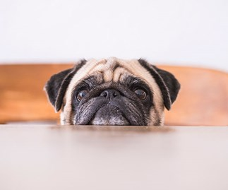 TradeMe bans sale of pugs, French and English bulldogs