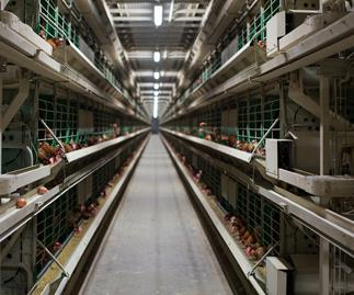 All supermarkets to ban cage eggs