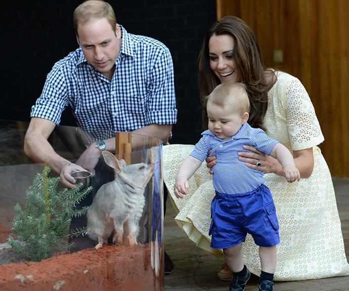 Doesn't George look adorable as he meets a bilby in Australia.