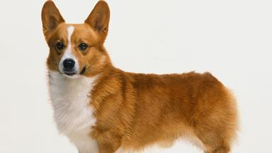 Why The Queen banned her beloved corgis from the bedroom