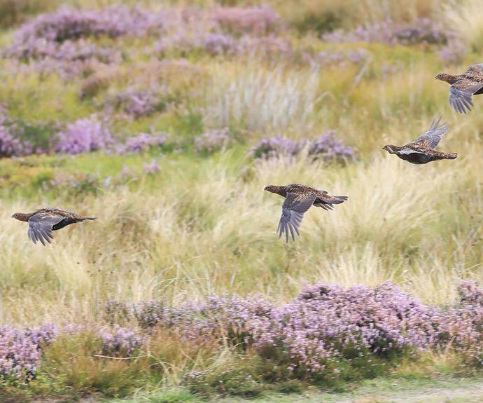Grouse birds are a favourite of Prince Charles'.