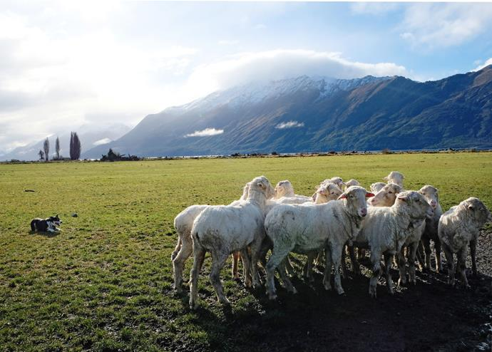 A sheepdog showcases his skills, rounding up a group of merino sheep.