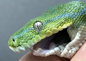 The story of the unfortunate snake called Toothless who had to get braces after a mealtime mishap