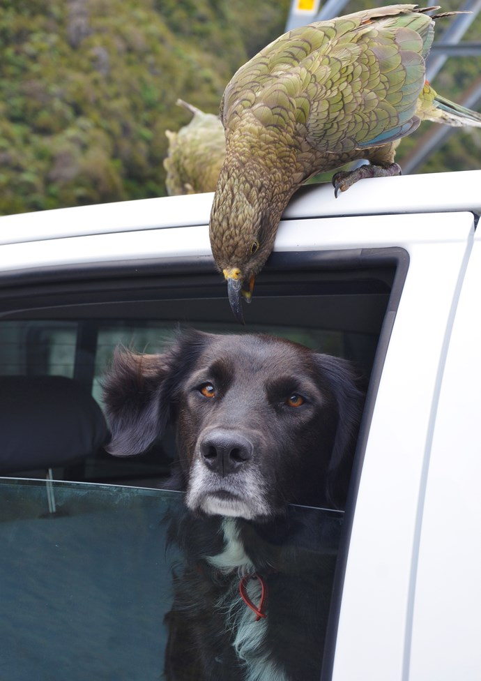 Ajax needs a lot of patience to work with cheeky Kea all day.