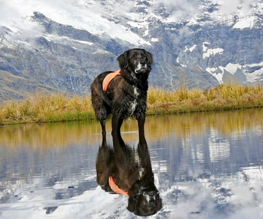 He's a canine superhero: meet New Zealand's only kea rescue dog, Ajax
