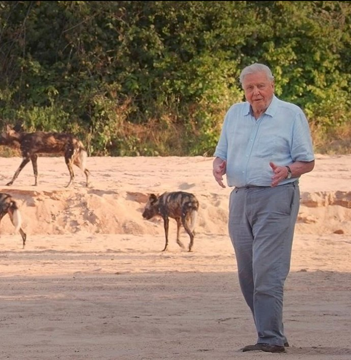He doesn't do much field work anymore, but Sir David did visit Zimbabwe to film a *Dynasties* episode about Painted Dogs.