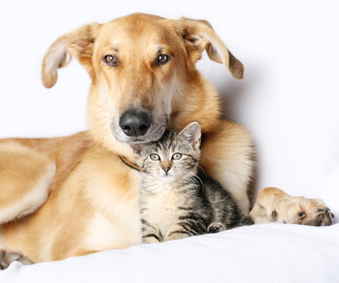 Adult brown dog cuddling small tabby kitten
