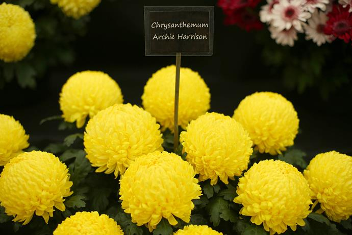 The vibrant yellow blooms are now known as Archie Harrison. *(Image: Getty)*
