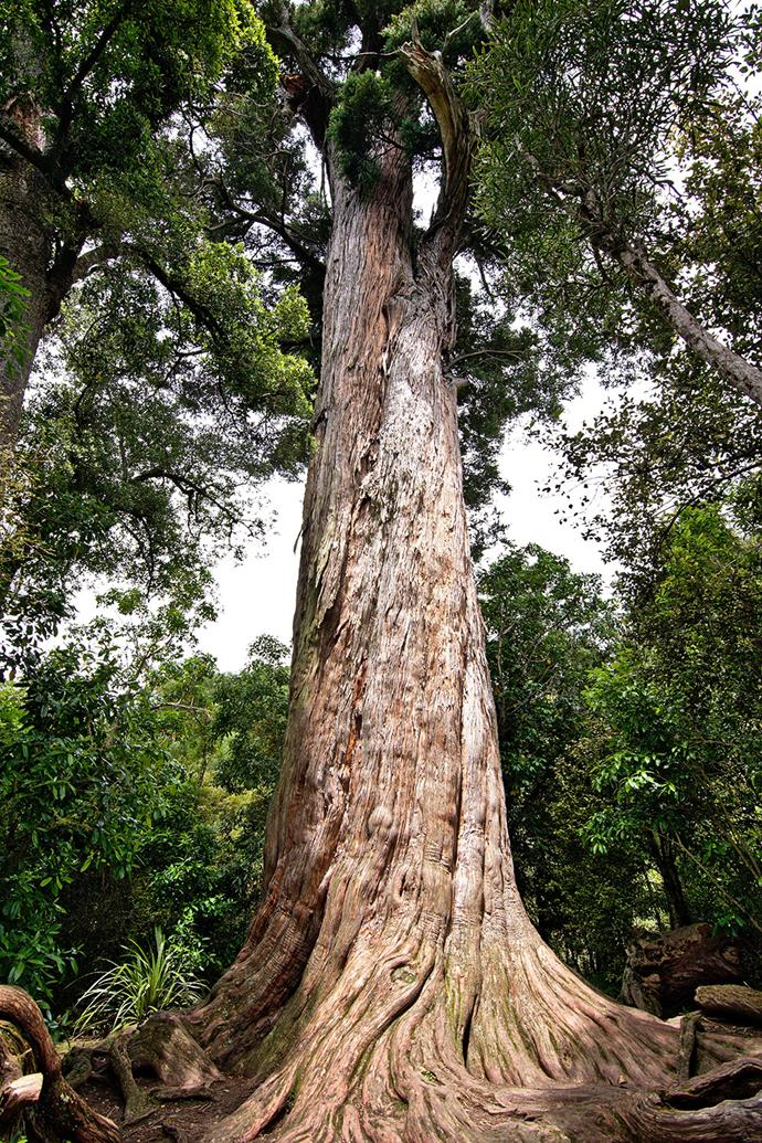 Giant Totara by Tomas Sobek *(CCBY-SA4.0)*