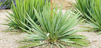 yuccas plants