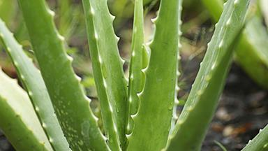 Soothe sunburn with homemade aloe vera cream