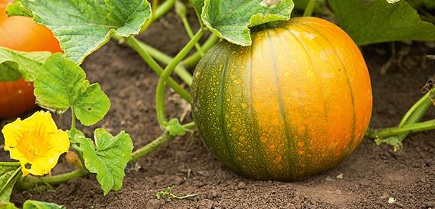 Gardening Advice  Top Tips For Growing Pumpkins