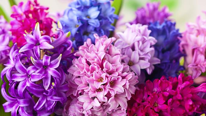 Fragrant hyacinths brighten gloomy winter days.