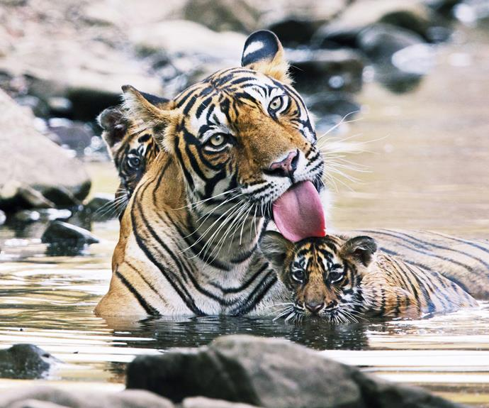 A mother tiger and her cubs. These rare animals can be seen on a safari tour in Ranthambore National Park.