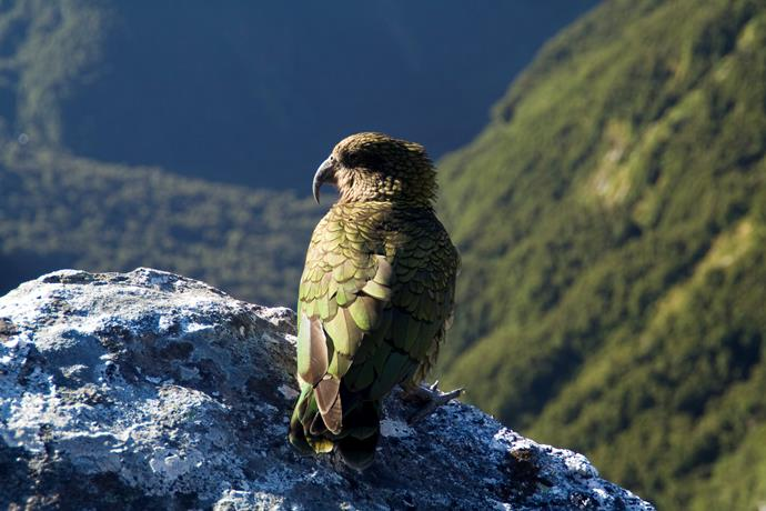 Check out the native Kea population while in the area