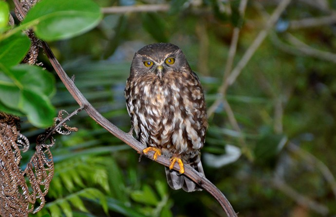 Ruru – morepork, NZ's native owl