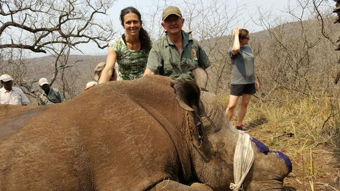 Sarah with a rhino that's just been dehorned