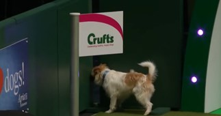 WATCH: The Jack Russell that went rogue during top dog show