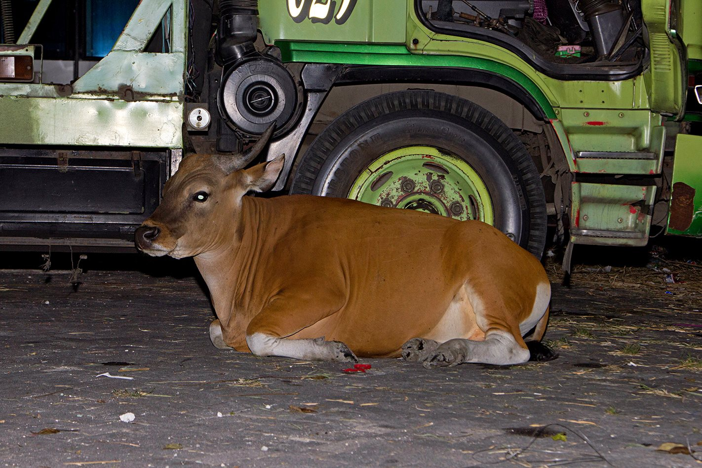 Cow in streets of Kuta