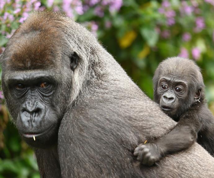 Meet Taronga Zoo's adorable new bub, seven-month-old gorilla Mjukuu with mum, Mbeli.