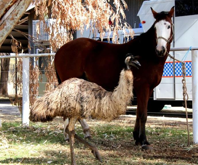 Emu hangs out with his pal, the horse.